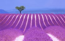 Lavender Fields near Gordes, Provence